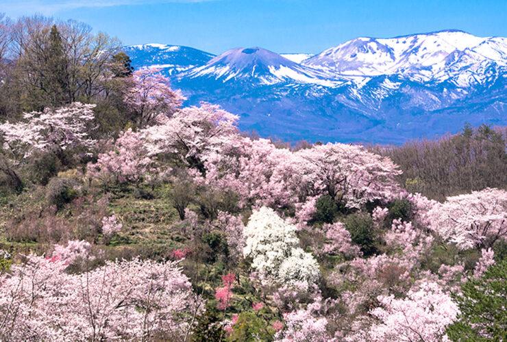 福島市 花見山(4月中旬)